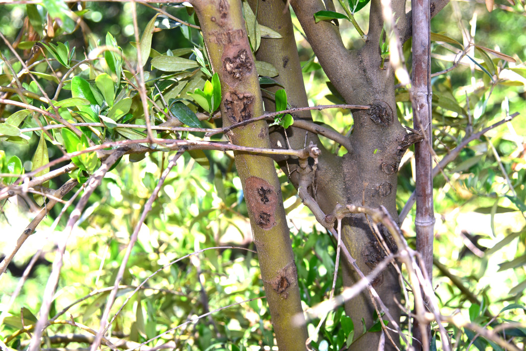 New Disease Reported In California Olive Orchards